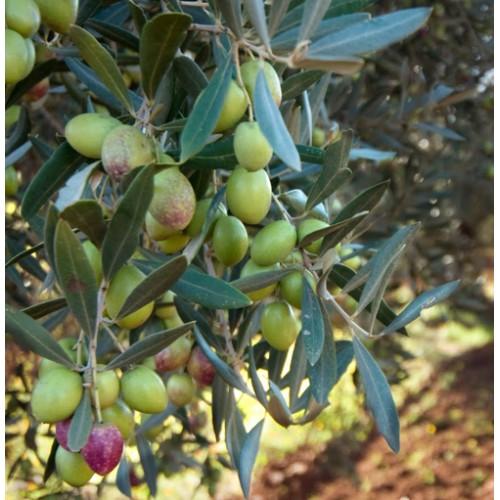 Ogliarola Medium Intensity Early Harvest Extra Virgin Olive Oil - Italy - 2020